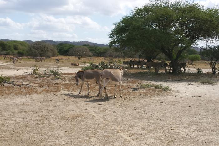 Kilikoffie Tanzania